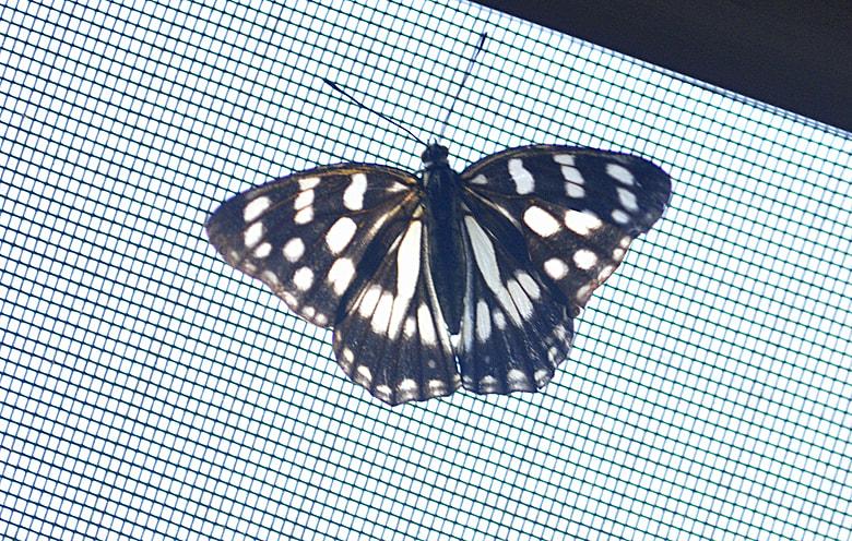 ゴマダラ蝶と芙蓉—11.9.28–