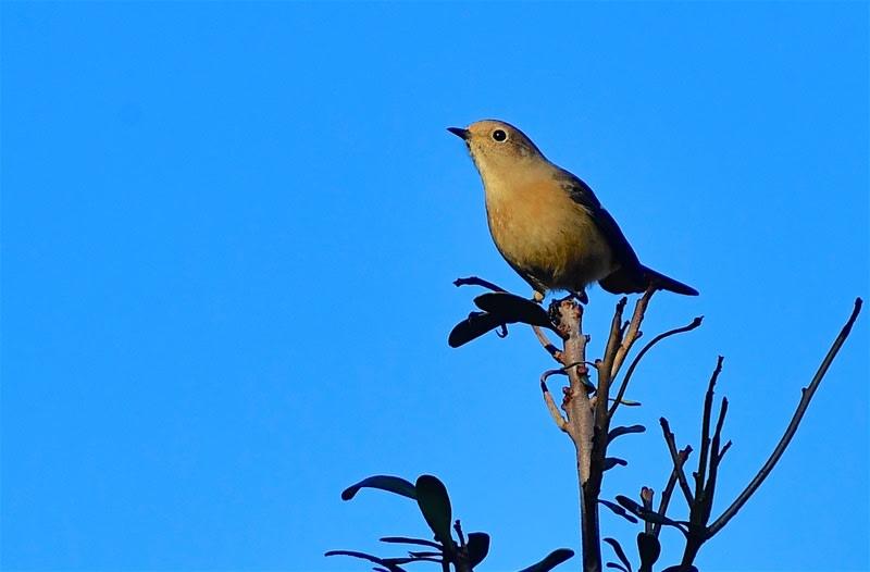 ジョウビタキ(Daurian  Redstart)      —2018.10.29—
