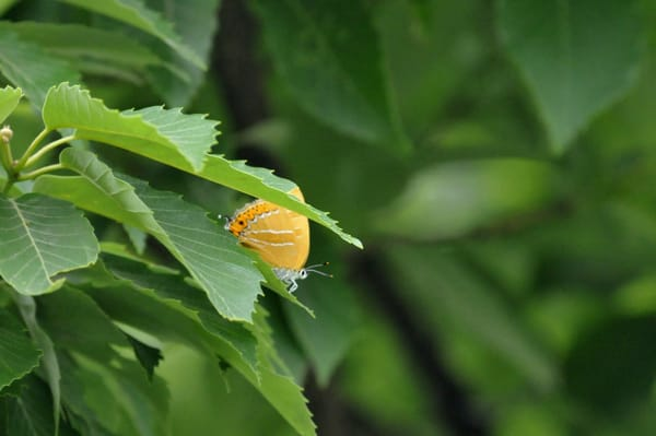 アカシジミを善福寺川のほとり、コナラの木の葉で発見、初撮影(08.5.28)