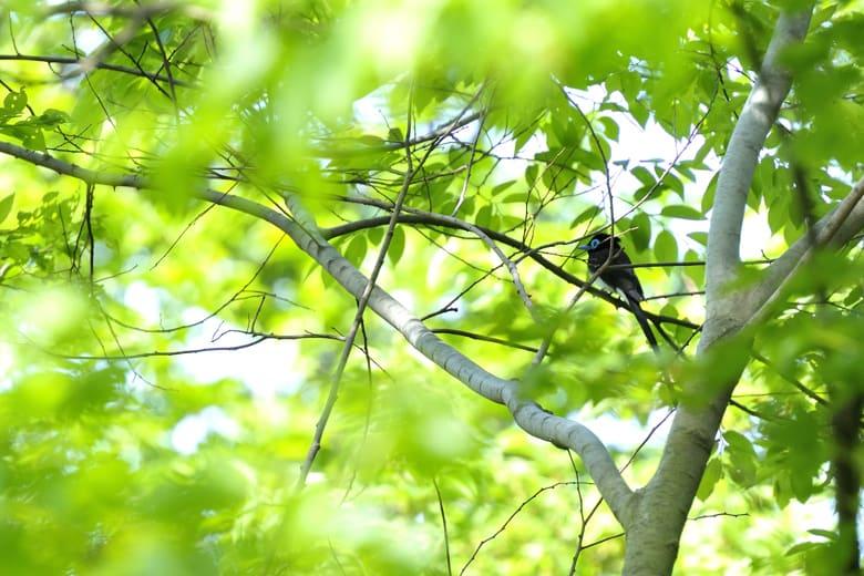サンコウチョウが和田堀に渡りで渡来。キビタキも数羽。メボソムシクイか?—10.5.9—