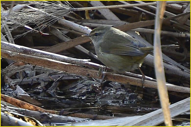 ウグイス(Japanese Brush Warbler)    —16.1.28—