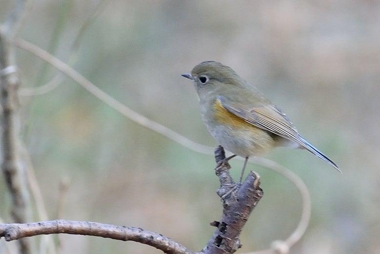 ルリビタキ(Red-flanked Bluetail) ♀今冬初撮り  —2012.12.13—