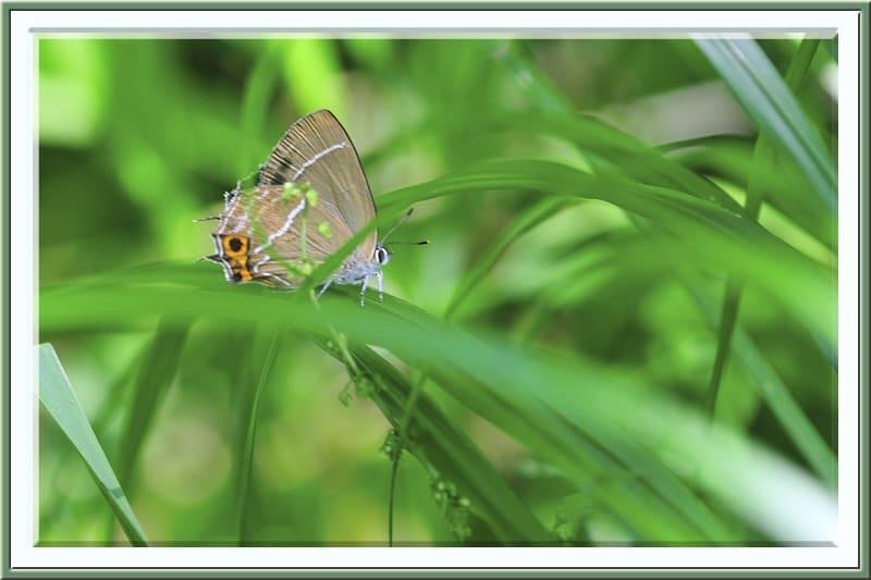 ミドリシジミNeozephyrus japonicus再び —12.6.27—