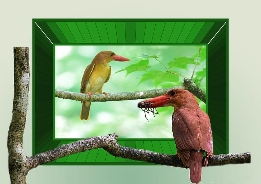 ☆アカショウビン(Ruddy kingfisher)-夢の再現 —'15.8.14—