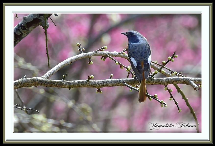 ジョウビタキ(Daurian Redstart)        —15.2.24—