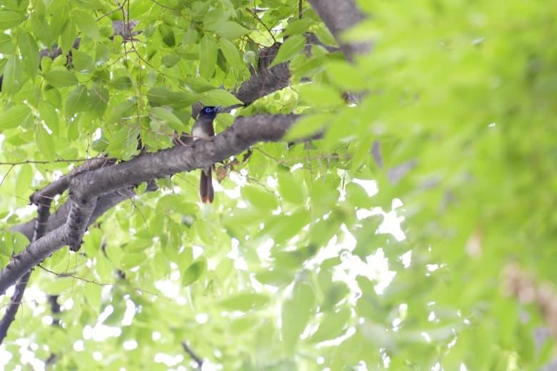 サンコウチョウ(Japanese Paradise  Flycatcher)       —13.5.25—