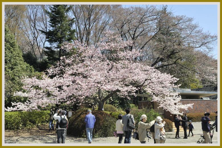 神代植物園は神代曙(エドヒガン系の桜)が大人気!!—11.4.5—