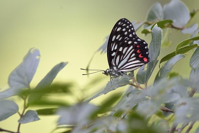 盛夏の蝶たち、コナラの大木に参集!   —13.7.22—