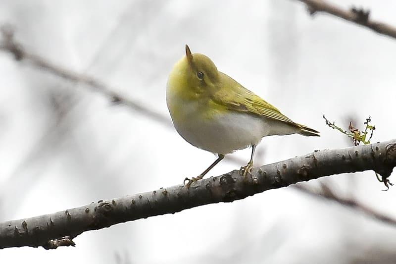 珍鳥モリムシクイ(Wood Warbler P. sibilatrix)  ー No.4        — 2016.11.24—