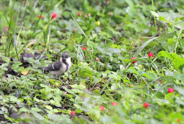 小鳥達は子育てを終え、若鳥達が囀り始めました—11.6.1—