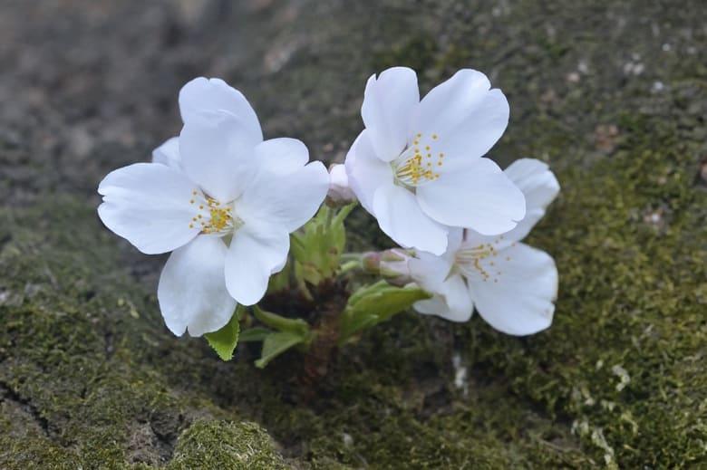 桜、さくら、サクラ 咲く!?    —13.3.22—