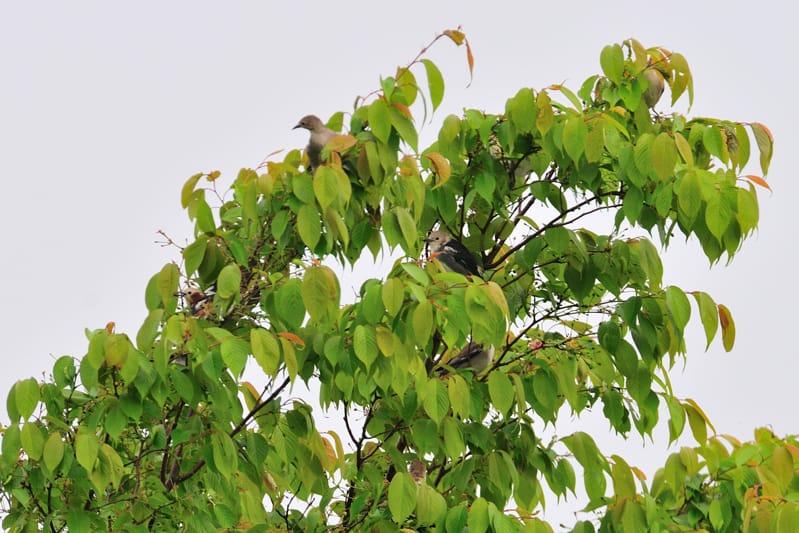 舳倉島と能登のコムクドリChestnut-cheeked Starling—12.5.5~9