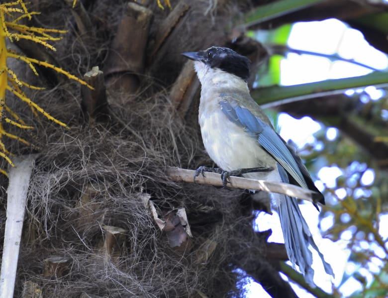 猛暑続きで近所の野鳥達も弱って、夏痩せしています。—10.9.7–