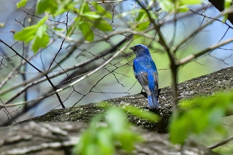 オオルリ(Blue-and-white  Flycatcher)   —2017.4.21—