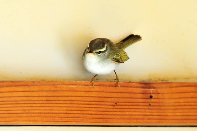 舳倉島のムシクイWarbler3種—2012.5.7—