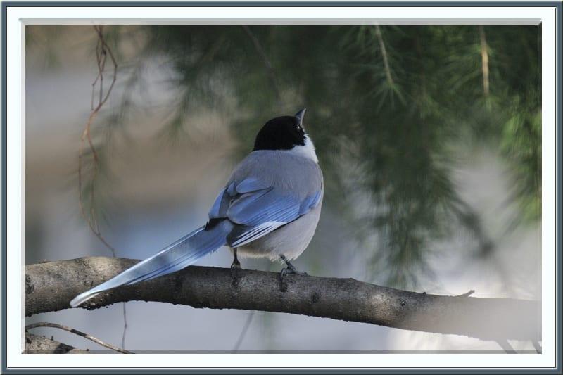 オナガ(Azure-winged Magpie)–真冬のオナガはきれい!—2011.12.25—