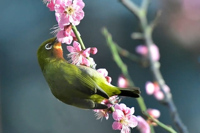珍種?メジロ(Japanese  White-eye) ❷     —2017.2.21—