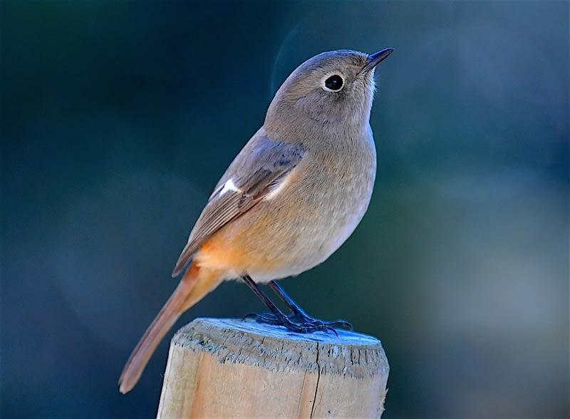 ◎ジョウビタキ(Daurian Redstart) — 2017.12.15—