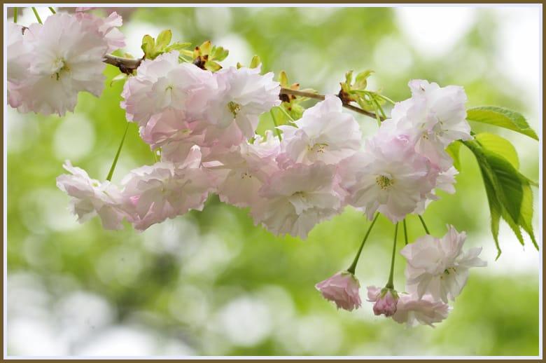 八重曙、普賢象、大島桜系が見事に咲きました。11.4.23—