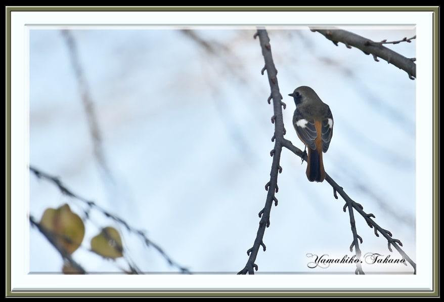 ジョウビタキ(Daurian Redstart )  ♂♀        —'14.12.1—