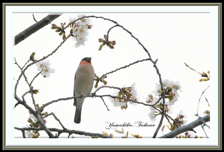 ウソ(Bullfinch)と桜   —2013.3.19—