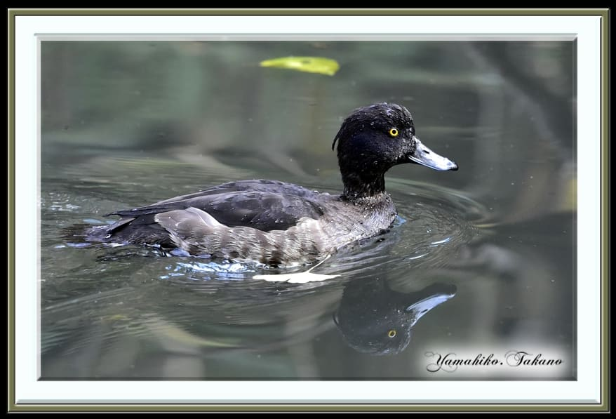 スズガモ(Greater Scaup) &キンクロハジロ(Tufted Duck)             —14.12.6—