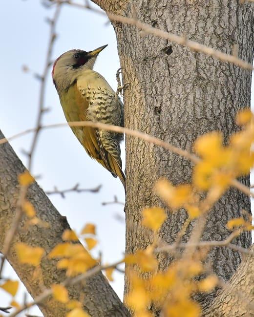 アオゲラ(オス)(Japanese Green Woodpecker)        —2016.11.18—