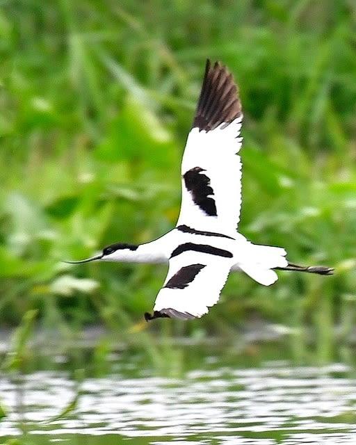 名鳥ソリハシセイタカシギ(Pied  Avocet)   — 2017.5.26—