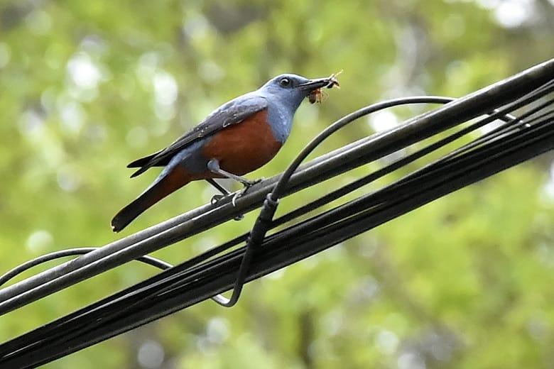 イソヒヨドリ(Blue  Lock  Thrush) 高野山で初見     —14.5.21—