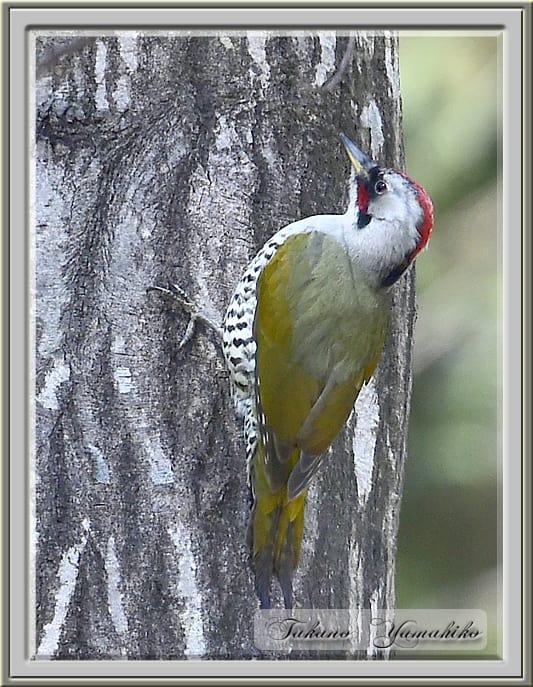 アオゲラ(Japanese Green Woodpecker)      —15.2.25—