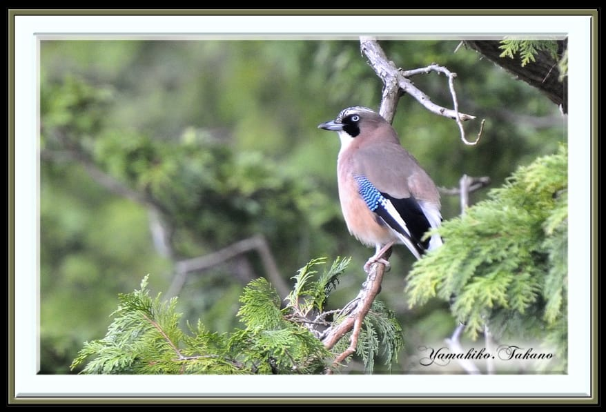 我が故郷の野鳥たち=カケス、アオゲラ、キバシリ —13.3.25—