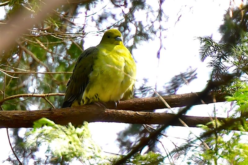アオバト(White-bellied Green Pigeon) —'18.3.30—