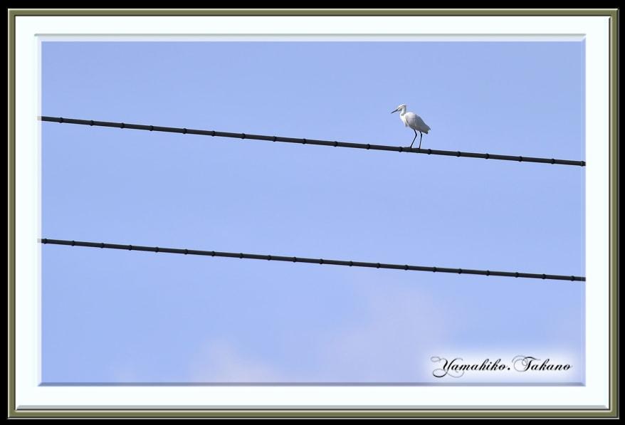 コサギ(Little Egret)           —'14.10.21—