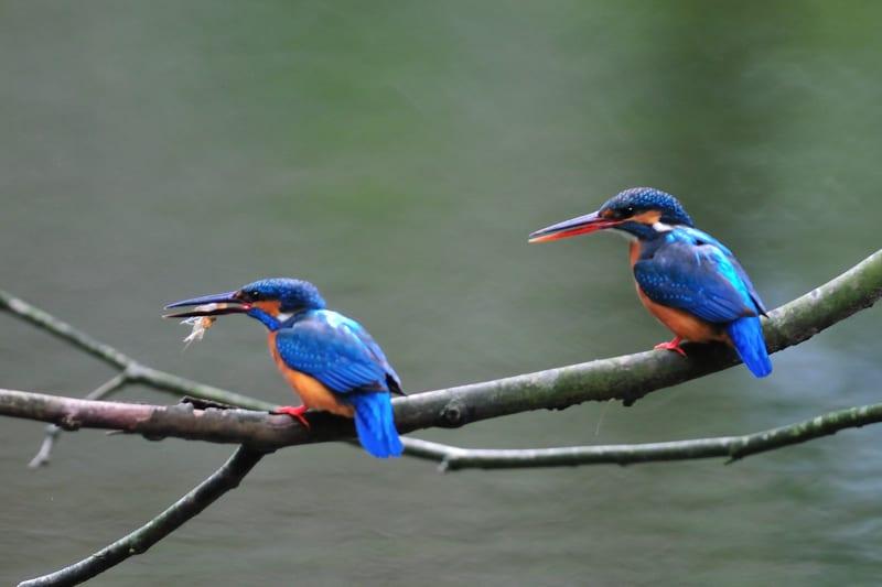 カワセミ(Common Kingfisher)–今春の恋の季節到来—12.3.25—