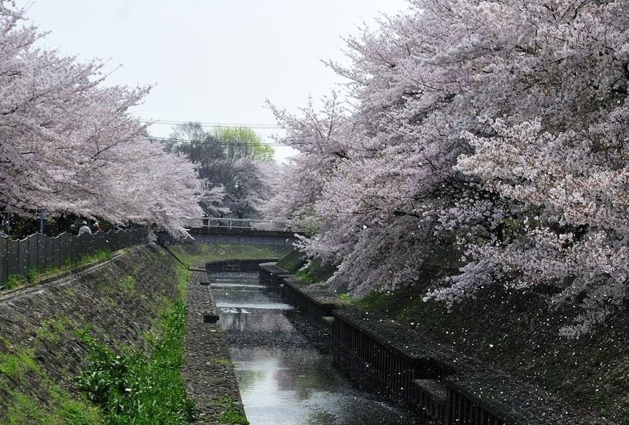 春の高気圧が次々に通過!連日快晴。桜吹雪は見事です!(09.4.10)