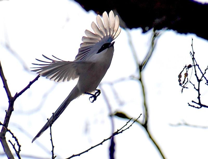 オナガ(Azure-winged Magpie)          —2018.1.28—