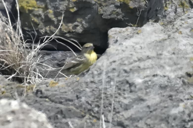 珍鳥マミジロツメナガセキレイ    —15.3.29—