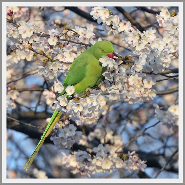 インコ(ワカケホンセイインコ)が桜の花びらと蜜を食べていました。–11.4.6—