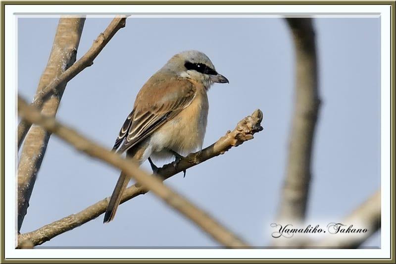 セアカモズ(Red-backd Shrike)      —2013.2.23—