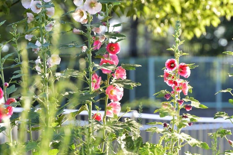 初夏の名花ーータチアオイが川沿いに・・・・  —13.6.6—