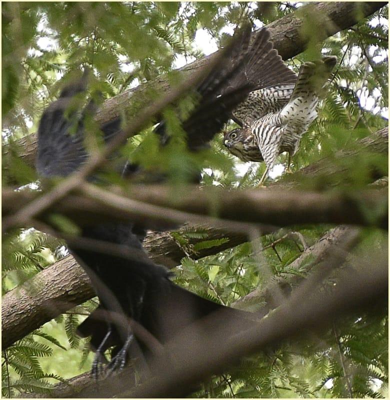 ツミ(Japanese Sparrowhawk)        —15.8.15—