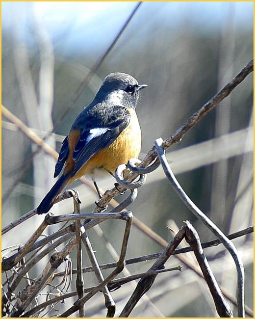 ジョウビタキ(Daurian Redstart)  他      —16.1.11—