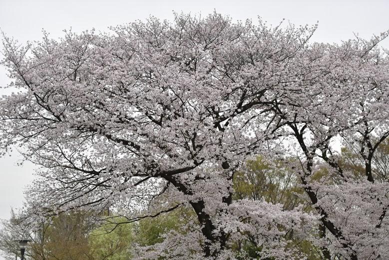 『お勧めの桜のスポットは?』