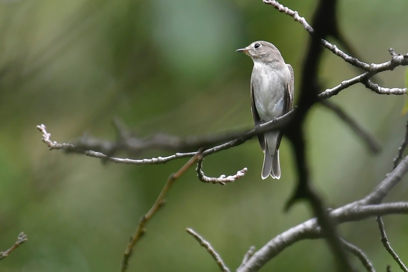 コサメビタキ(Asian Brown Flycatcher)&エゾビタキ(Grey streaked Flycatcher) —2018.9.23—