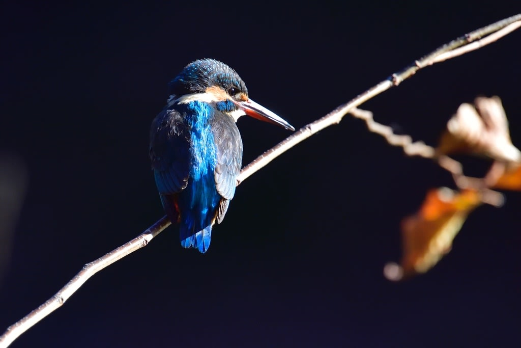 カワセミ(Common Kingfisher)             —2019.1.2—
