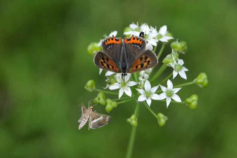 曇りの日は翅を広げて日光浴の蝶たち(ベニシジミヤマトシジミ他)。絶好の撮影日和かも・・・