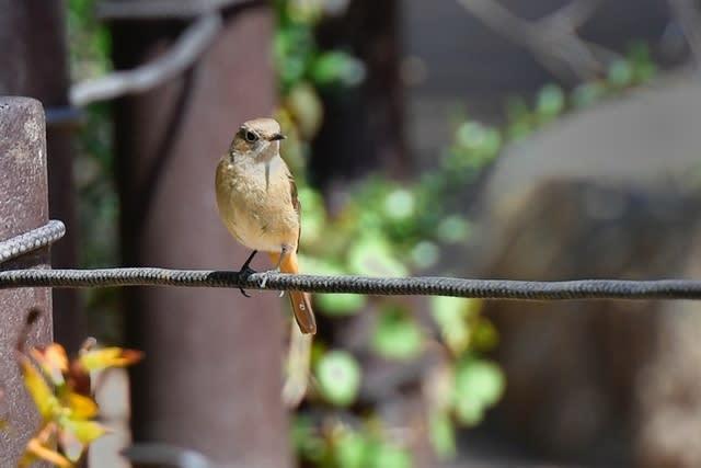 ジョウビタキ(Daurian  Redstart)               — 2017.3.24—