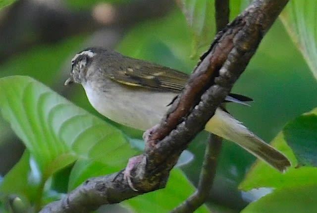 エゾムシクイ(Sakhalin Leaf Warbler)