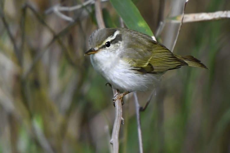 ⭐舳倉島遠征—-いつものお馴染みの小鳥たち—センダイムシクイ      —16.5.2~6—