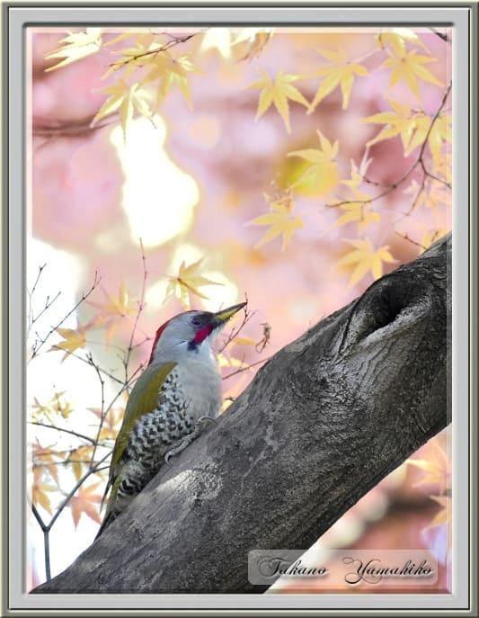 アオゲラ(Japanese Green Woodpecker)       —'14.12.15—